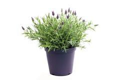 Lavendelinstallatie op wit wordt geïsoleerd dat Stock Afbeelding