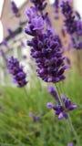 Lavendelknop Royalty-vrije Stock Fotografie