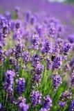 Lavendelkoloni Royaltyfri Fotografi