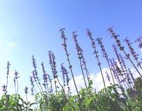 Lavendelkraut, das in einem Garten mit blauem Himmel blüht Lizenzfreie Stockfotos