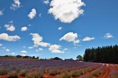 Lavendellandbouwbedrijf royalty-vrije stock foto's