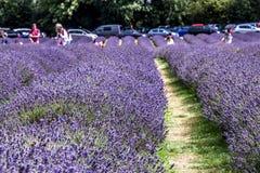 Lavendellandbouwbedrijf Stock Foto's