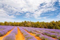 Lavendellandbouwbedrijf in Tasmanige Stock Afbeelding
