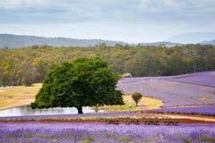 Lavendellandbouwbedrijf in Tasmanige royalty-vrije stock afbeelding