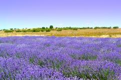 Lavendellandskap Royaltyfria Bilder