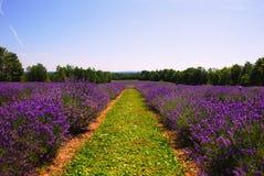 Lavendellantgård fotografering för bildbyråer