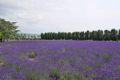 Lavendellantgård i Hokkaido, Tomita royaltyfria foton