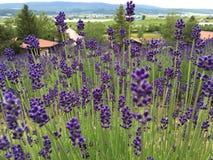 Lavendellantgård Tomita Arkivbilder