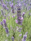Lavendellilafält Arkivbilder