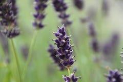 Lavendellilafärg i trädgården Arkivfoton