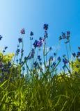 Lavendeln oben betrachten Lizenzfreie Stockfotografie