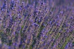 Lavendelnahaufnahme Stockfotos