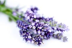 Lavendelnahaufnahme stockbild