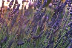 Lavendelnahaufnahmesonnenuntergang Stockfotos