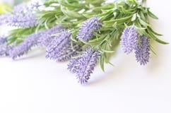 Lavendelniederlassung auf einem weißen Hintergrund Lizenzfreie Stockfotos