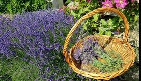 Lavendeloogst stock fotografie
