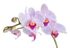 lavendelorchids Arkivfoton