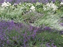 Lavendelordning i trädgård Royaltyfria Foton