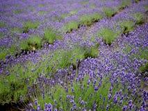 Lavendelreihe als Muster Stockfotos