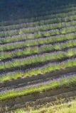Lavendelreihen Stockbild