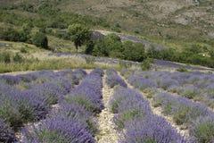 Lavendelreihen Lizenzfreie Stockfotos
