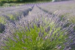Lavendelreihen mit Nahaufnahme Lizenzfreies Stockfoto