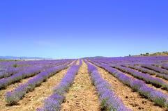 Lavendelrijen Stock Afbeeldingen