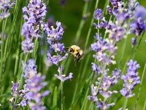 Lavendelsäng och fjärilar Arkivfoton