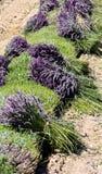 Lavendelskörd arkivfoto