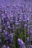 Lavendelsärdrag Royaltyfri Fotografi