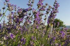 Lavendelstamm mit Öl Stockfotografie