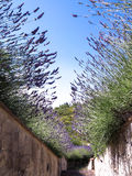 Lavendelstammen tegen de hemel Stock Afbeelding