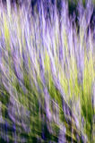 Lavendelstelen in abstract ontwerp Royalty-vrije Stock Afbeeldingen