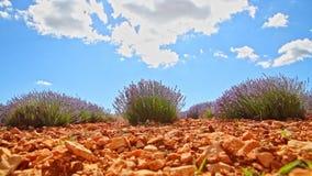 Lavendelstruik - timelapse stock videobeelden