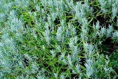 Lavendelstruik in waterdruppeltjes dat wordt behandeld Stock Fotografie