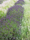 Lavendelstruiken in overvloed in de medio zomer royalty-vrije stock afbeeldingen