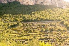 Lavendelterrasser på ön Hvar Arkivbilder