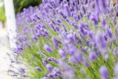 Lavendelträdgård på trottoaren i El Calafate, Argentina Arkivbild