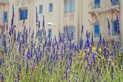 Lavendeltuin met San Francisco Architecture op Achtergrond Stock Foto
