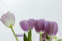 Lavendeltulpan på vit Arkivbilder