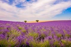 Lavendelwaldungen Lizenzfreie Stockbilder