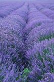 Lavendelzeilen Lizenzfreie Stockfotografie