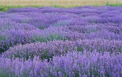 Lavendelzeilen Stockfotografie