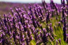 Lavender άνθος σε μια ηλιόλουστη ημέρα με μια πετώντας μέλισσα Στοκ Φωτογραφία