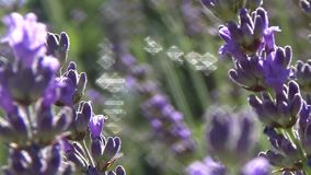 Lavender άνοιξη φιλμ μικρού μήκους