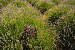 Lavender δέντρο Στοκ εικόνες με δικαίωμα ελεύθερης χρήσης