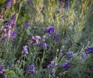 Lavender ανάπτυξη στον κήπο Στοκ εικόνα με δικαίωμα ελεύθερης χρήσης