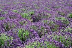 lavender αναχώματα Στοκ φωτογραφία με δικαίωμα ελεύθερης χρήσης