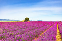 Lavender ανθίζει τον ανθίζοντας τομέα, το σπίτι και το δέντρο Προβηγκία, φράγκο στοκ φωτογραφίες