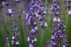 Lavender ανθίζει τον τομέα στο ιώδες χρώμα Στοκ Εικόνες